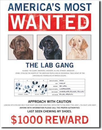Plechová cedule Wanted The lab gang - Labrador
