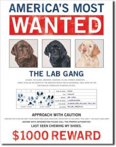 Plechová cedule Wanted The lab gang - Labrador